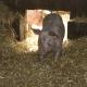 schwein-img_5118